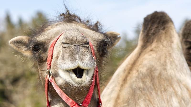 """""""Camelids: New players in the international animal production context"""""""