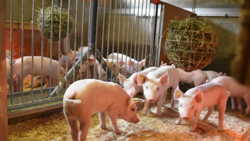 News from EAAP Davos 2021: Pig Tour